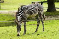Free Zebra Royalty Free Stock Photos - 2990858