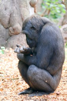 Free Young Gorilla Profile Stock Images - 2991434