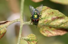 Green Fly Royalty Free Stock Photo