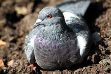 Pigeon In The Park Royalty Free Stock Photos