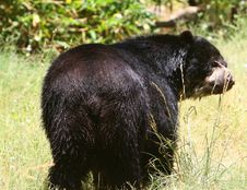 Free Wet Black Bear Stock Photography - 2992502