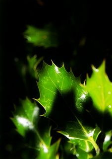 Free Holly Leaves Royalty Free Stock Image - 2992516