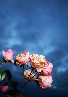 Free Pink Roses And Dark Blue Sky Stock Photos - 2992543