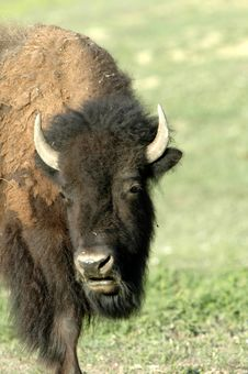 Free American Bison Stock Photo - 2992790