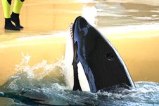 Killer Whale Feeding Royalty Free Stock Photo