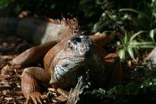 Free Big Lizard Royalty Free Stock Image - 2993226