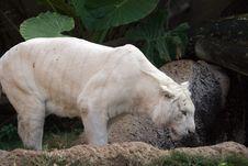 Free White Tiger Royalty Free Stock Photos - 2993228