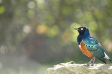Free African Superb Starling Royalty Free Stock Photos - 2993448