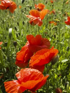 Free Poppies Royalty Free Stock Image - 2994406