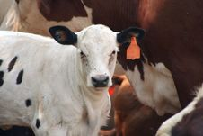 Free Calf Stock Photo - 2994760