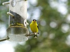 Free Golden Finch Perched Royalty Free Stock Photos - 2995878
