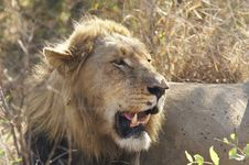 Free Male Lion Royalty Free Stock Photo - 2997225