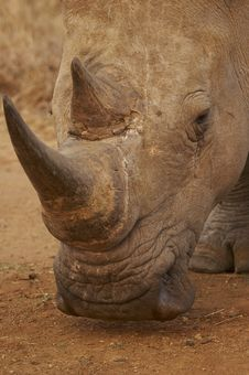 Free White Rhinocerotidae Royalty Free Stock Image - 2997226