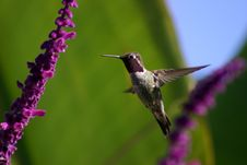 Free Hovering Hummingbird Royalty Free Stock Photography - 2998397