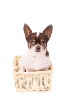 Free Chihuahua Stock Images - 2998664
