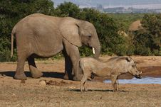 Free Elephant And A Warthog Royalty Free Stock Photos - 2998848