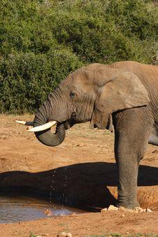 Free Elephant Drinking Royalty Free Stock Photo - 2998875