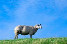Free Sheep On Fresh Green Grass Royalty Free Stock Image - 2998986
