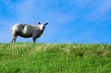 Free Sheep On Fresh Green Grass Stock Images - 2999074