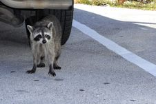 Free A Raccoon In Florida Stock Photo - 29903230