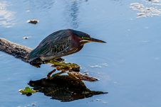 Free Close Up Of A Small Heron, A Least Bittern. Royalty Free Stock Photos - 29904348