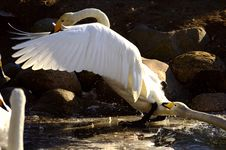 Free Swans Playing Royalty Free Stock Photos - 29909008