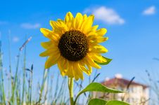 Free One Yellow Bright Sunflower On A Blur House Background Stock Photos - 29910223
