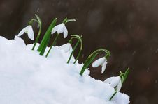 Free Snowdrops  In Snow Royalty Free Stock Photos - 29910468