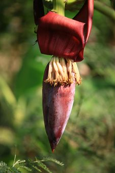 Free Banana Blossom Stock Photo - 29910890