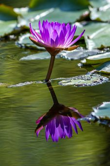 Free Water Lily Royalty Free Stock Photo - 29917875
