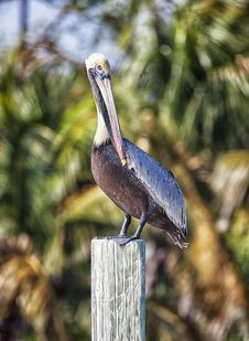 Free Brown Pelican Stock Images - 29918474
