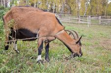 Free Goat In The Pasture. Stock Images - 29918764