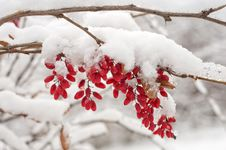 Free The Branch Of A Barberry. Stock Images - 29919054