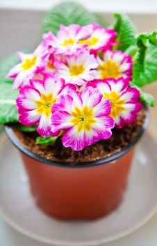 Free Pink And White Primrose Royalty Free Stock Image - 29919366