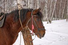 Free Saddled Horse. Royalty Free Stock Photos - 29919758