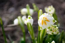 Free Spring Snowdrop And Green Nature Stock Photos - 29922533