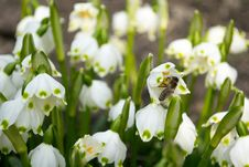 Free Spring Snowdrop And Green Nature Royalty Free Stock Images - 29922579