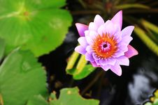 Free Light Purple Water Lily Flower &x28;lotus&x29; Stock Photography - 29925242
