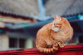 Free Red Cat Sitting On The Fence Royalty Free Stock Image - 29931686