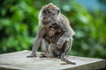 Free Monkey With A Cub Royalty Free Stock Images - 29936979