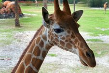 Free Giraffe Royalty Free Stock Photos - 29935138