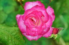 Free Rose Royalty Free Stock Image - 29939836