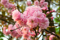 Free Morning Sakura Bud Stock Image - 29943181