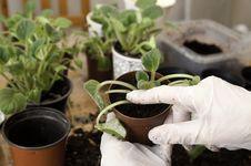 Free Transplanting Violets Royalty Free Stock Photo - 29941435