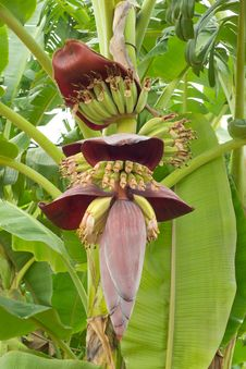 Free Bananas  And Banana Flower Royalty Free Stock Image - 29944816