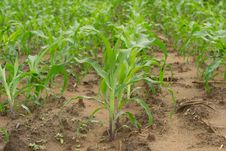 Free Field Of Corn Stock Images - 29944834