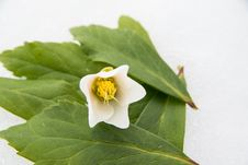 Free Closeup Of Hellebore Royalty Free Stock Photography - 29947007