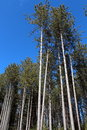 Free Tall Pine Trees Under Clear Blue Skies Stock Images - 29950354