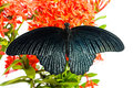 Free Great Mormon &x28;Papilio Memnon Agenor&x29; Butterfly Stock Image - 29957641