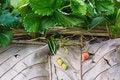 Free Strawberry Fruit Stock Photos - 29957873